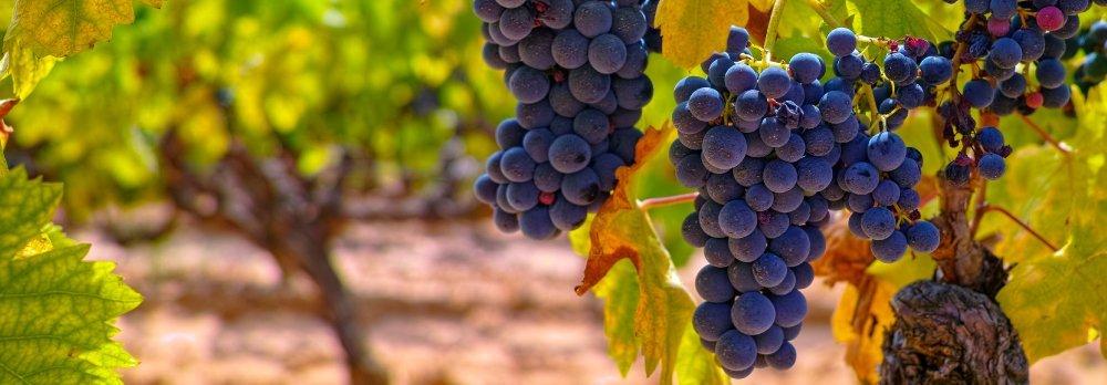 Los procesos de la viña